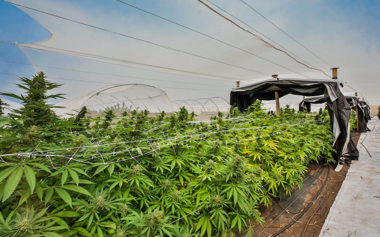 sustainable cannabis with higher cannabinoids
